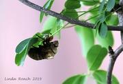 6th Jul 2019 - Dog Day Cicada Shell