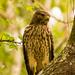 Screeching Hawk! by rickster549