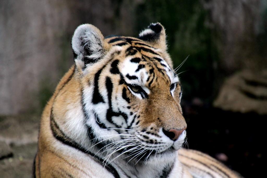 Tiger by randy23