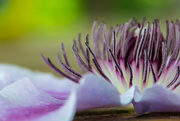 5th Jul 2019 - Clematis