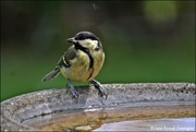 7th Jul 2019 - Thank you lady for filling up the bird bath