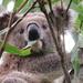 raindrops on euc leaves ... by koalagardens