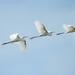 White Egret in Flight by lynne5477
