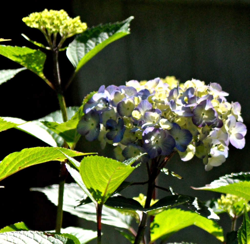 My hydrangeas are slowly coming out. by sailingmusic