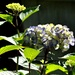 My hydrangeas are slowly coming out.