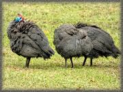 8th Jul 2019 - Bedraggled Guinea Fowl