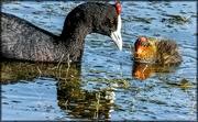 8th Jul 2019 - Red Knobbed coot and chick