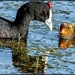 Red Knobbed coot and chick