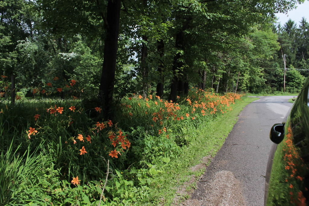 Lilies along the road by mittens