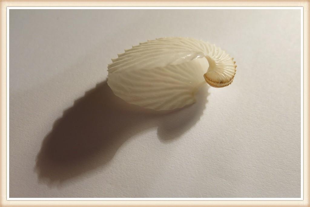 Seashell 2 by lmsa