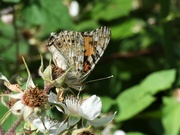 7th Jul 2019 - Painted Lady underside