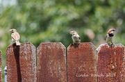 8th Jul 2019 - Eye on the sparrow