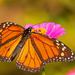 Monarch!