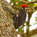 Pileated Woodpecker!