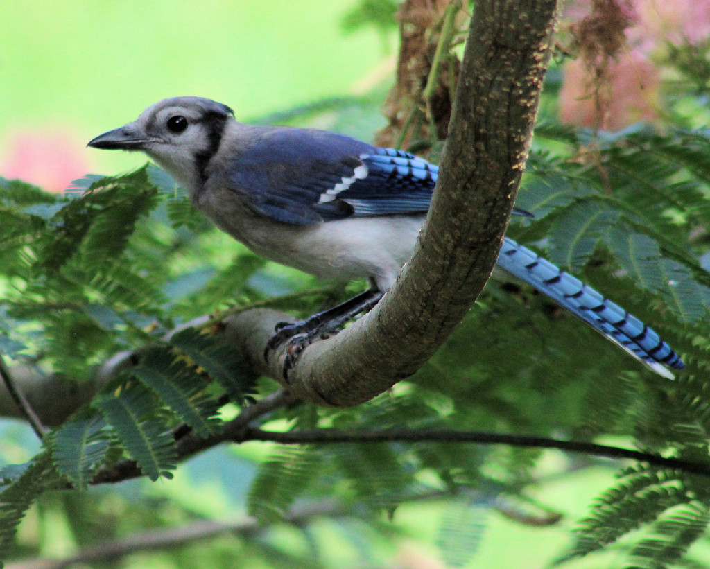 Young Blue Jay by cjwhite