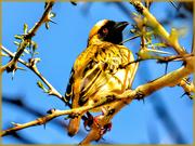 9th Jul 2019 - Weaver in a Fever tree