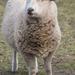 Ewe Lamb by kgolab