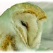 Sleepy Barn Owl by carolmw