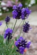 9th Jul 2019 - Hindcote Lavender
