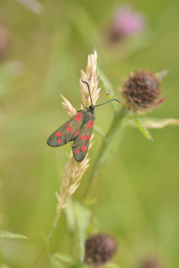 Burnet moth........ by ziggy77
