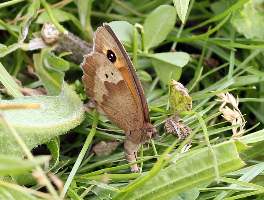 Double-spot Meadow Brown egglaying by janturnbull