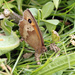 Double-spot Meadow Brown egglaying
