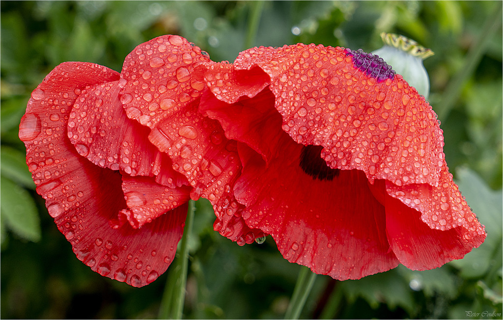 Wet Poppies by pcoulson