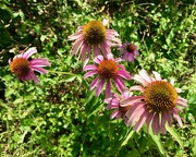 10th Jul 2019 - Echinacea purpurea