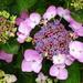 Lace-cap Hydrangea   by beryl