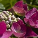 Hydrangea in Pink by helenhall