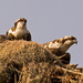 The Baby Osprey's Were Back in the Nest!