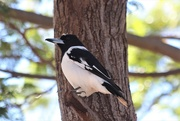 6th Jul 2019 - Butcherbird?