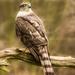sparrowhawk-