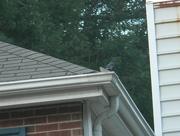 10th Jul 2019 - Bluebird on Neighbor's Roof