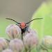 Milkweed bug!