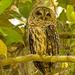 Barred Owl !