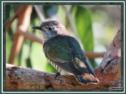 10th Jul 2019 - Shining Bronze-Cuckoo