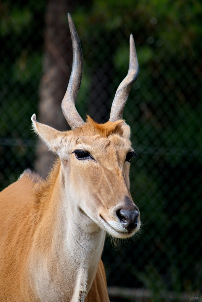 Common Eland  by kgolab
