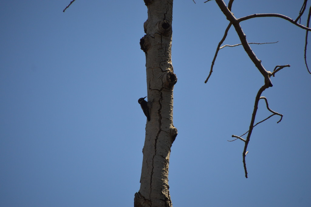 A Wood Pecker doing What Wood Peckers Do. by bigdad