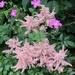 Astilbe and geranium