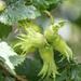Hazelnuts In The Garden