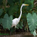 LHG_0320-Egret-stops-by by rontu