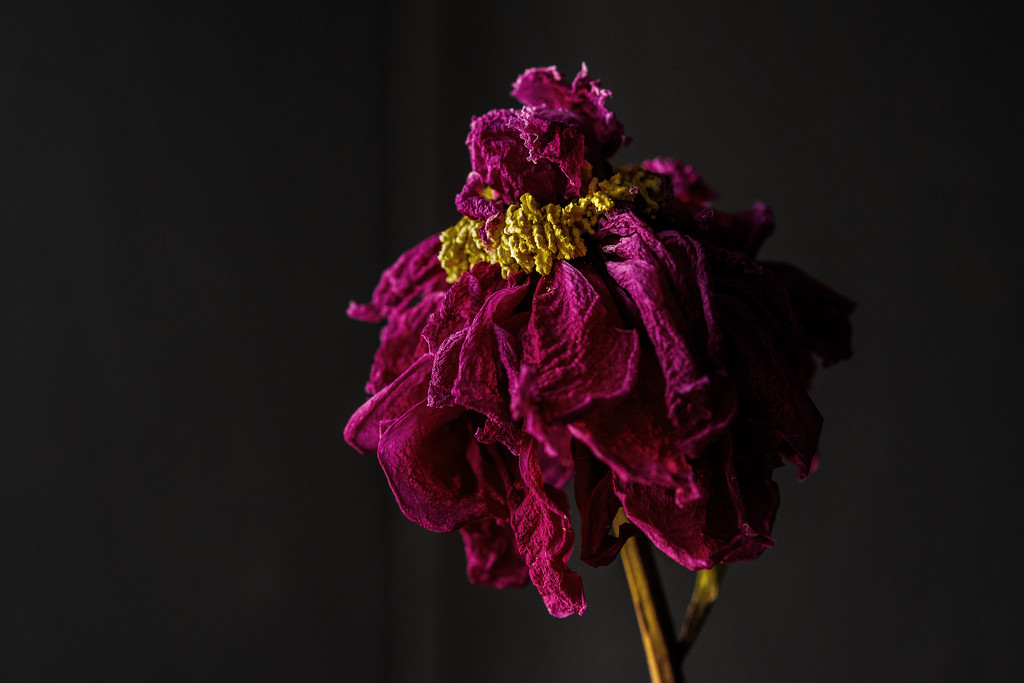 dried out peony by jernst1779
