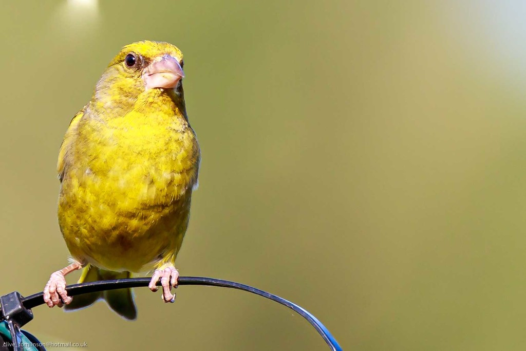 Greenfinch heading for feeder by padlock