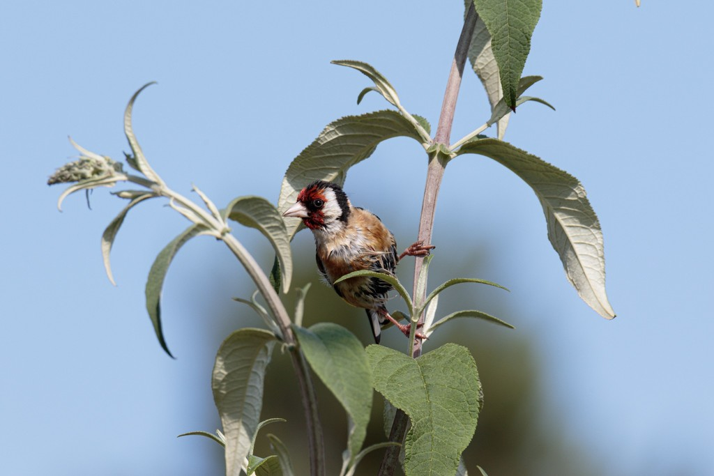 2019 07 11 - Goldfinch by pixiemac