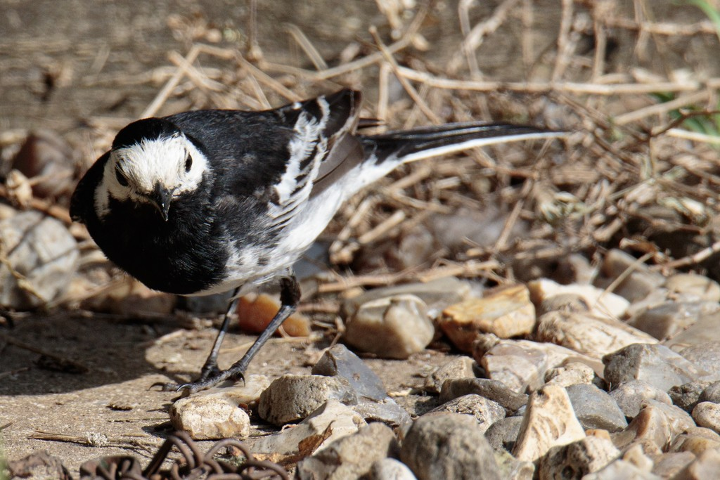 2019 07 08 - Pied Wagtail by pixiemac