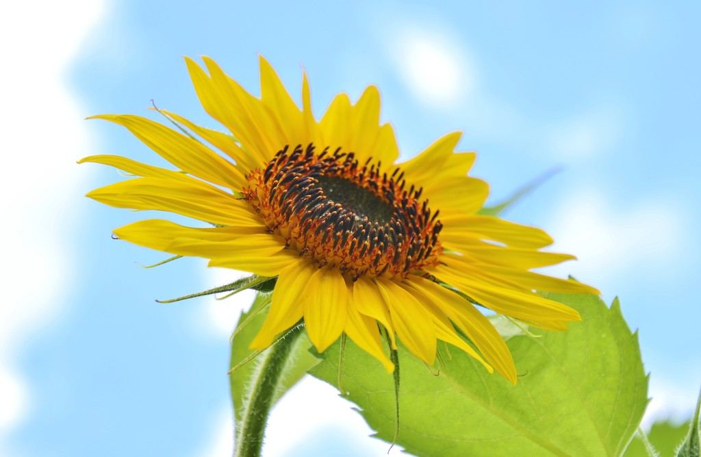 First Sunflower by lynnz