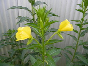 11th Jul 2019 - Yellow Flowers