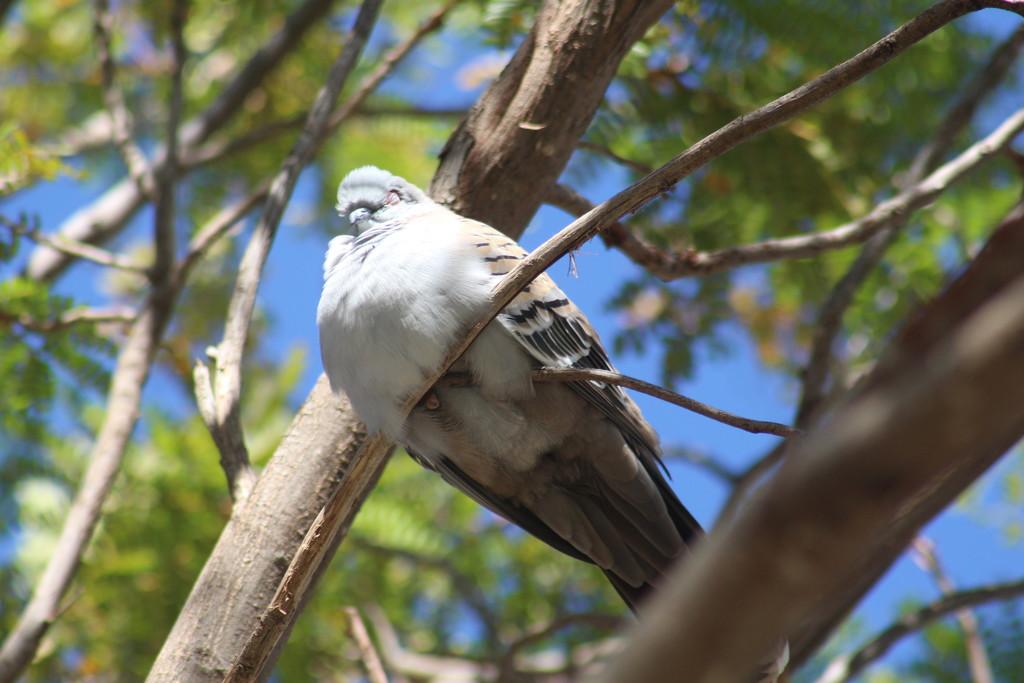 Sleeping Pigeon by leestevo