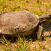 Gopher Tortoise on the Prowl!